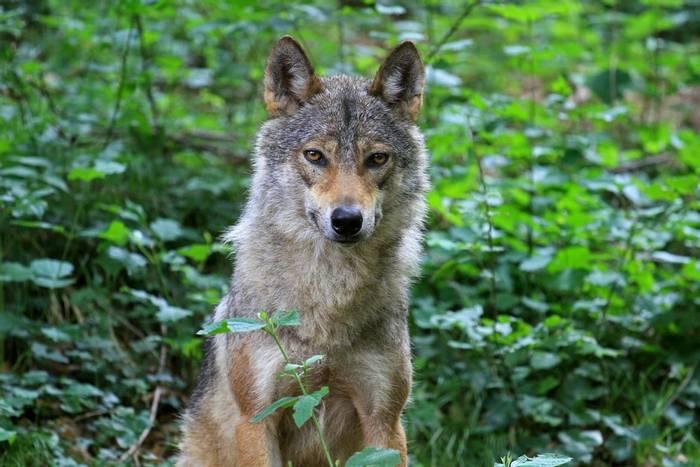 Apennine Wolf, Italy shutterstock_1679734216.jpg