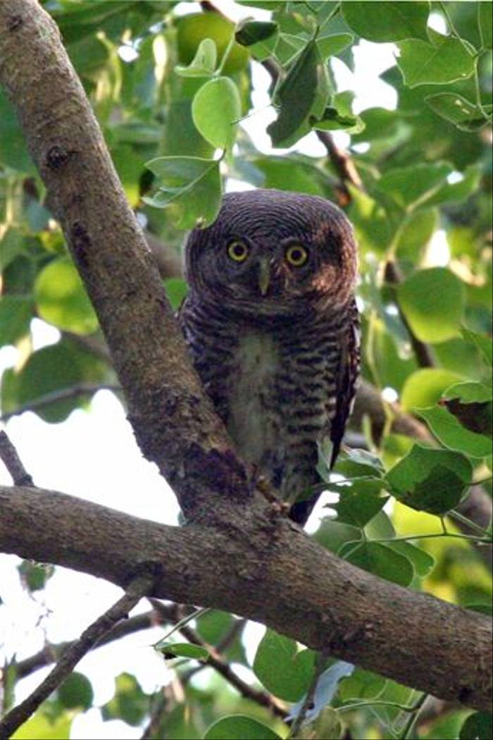 Jungle Owlet (Julian Thomas)