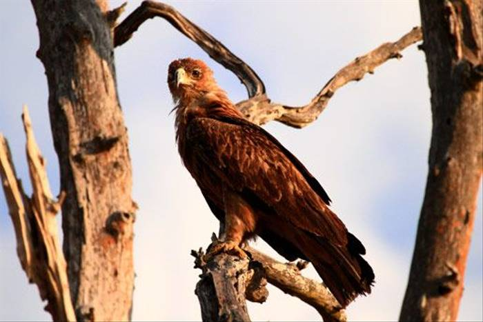 Tawny Eagle (Bret Charman)
