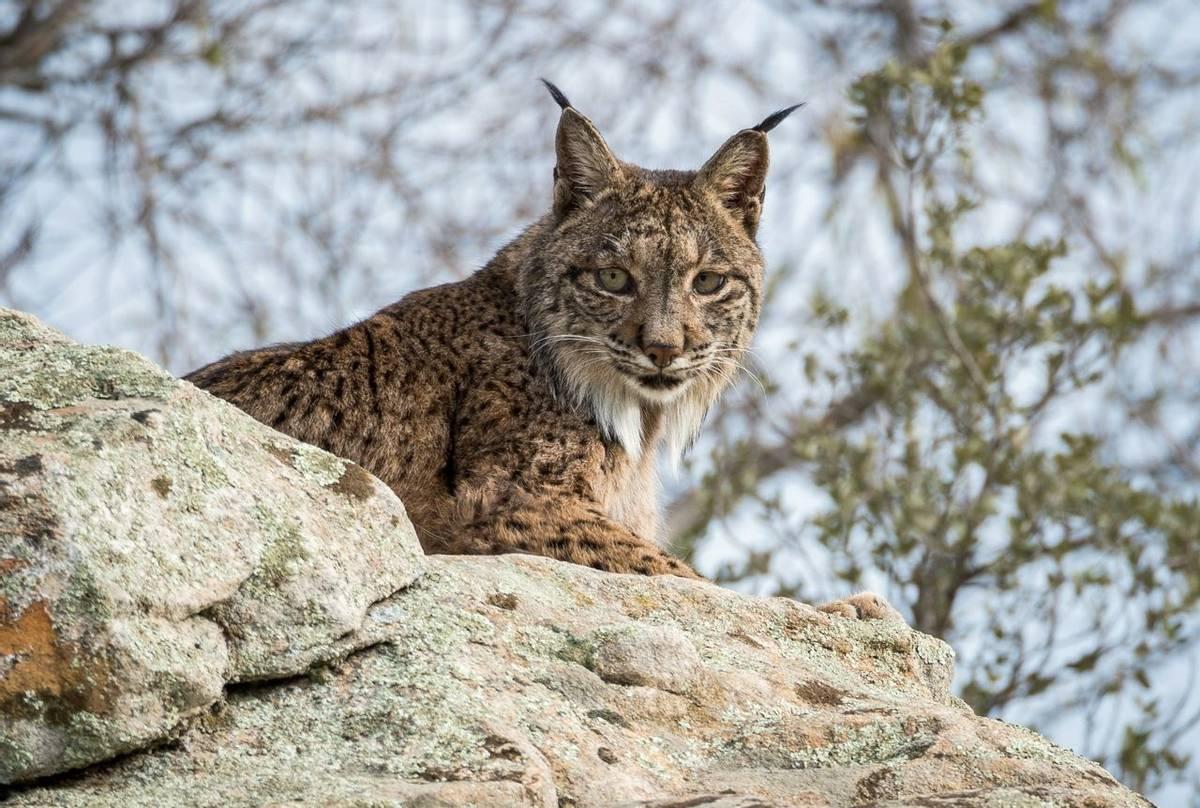 Iberian Lynx, Spain shutterstock_408647047.jpg