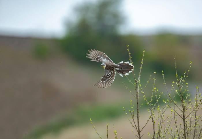 Great-Spotted Cuckoo, Spain shutterstock_1373006777.jpg