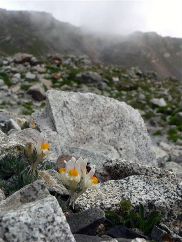 Alpine Toadflax (Nacho Zabelzu)