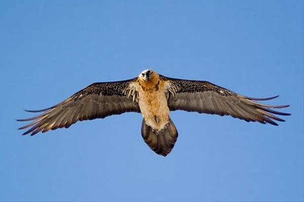 Bearded Vulture (Giorgo Darchiashvili)