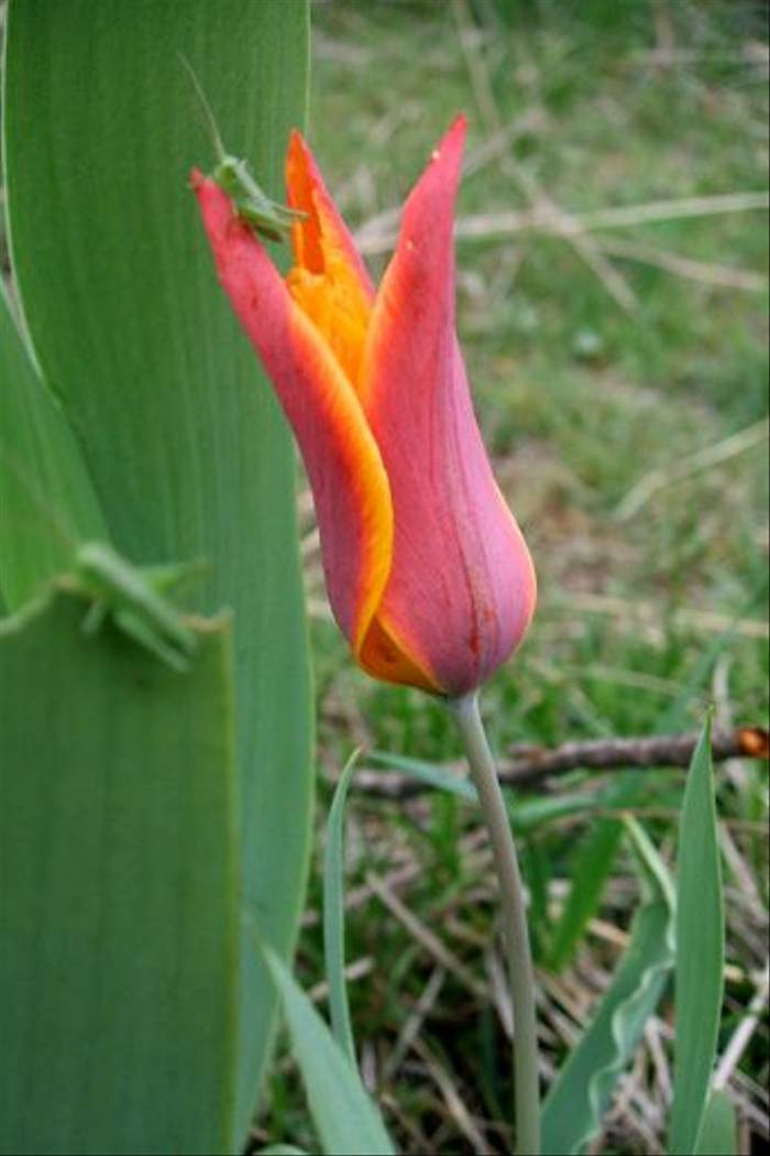 Tulipa ostrowskiana (John Shipton)