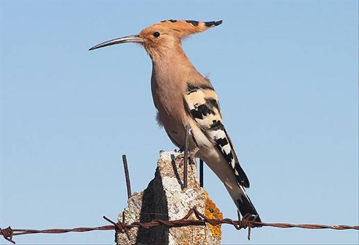Hoopoe (Tom Mabbett)