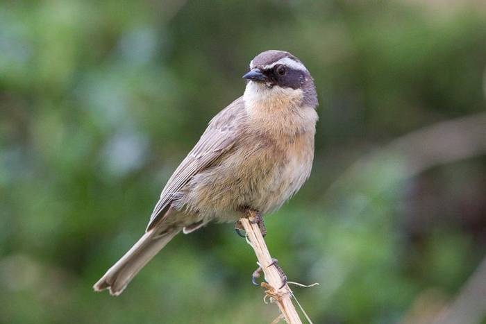 Brown Accentor (Alan Curry)