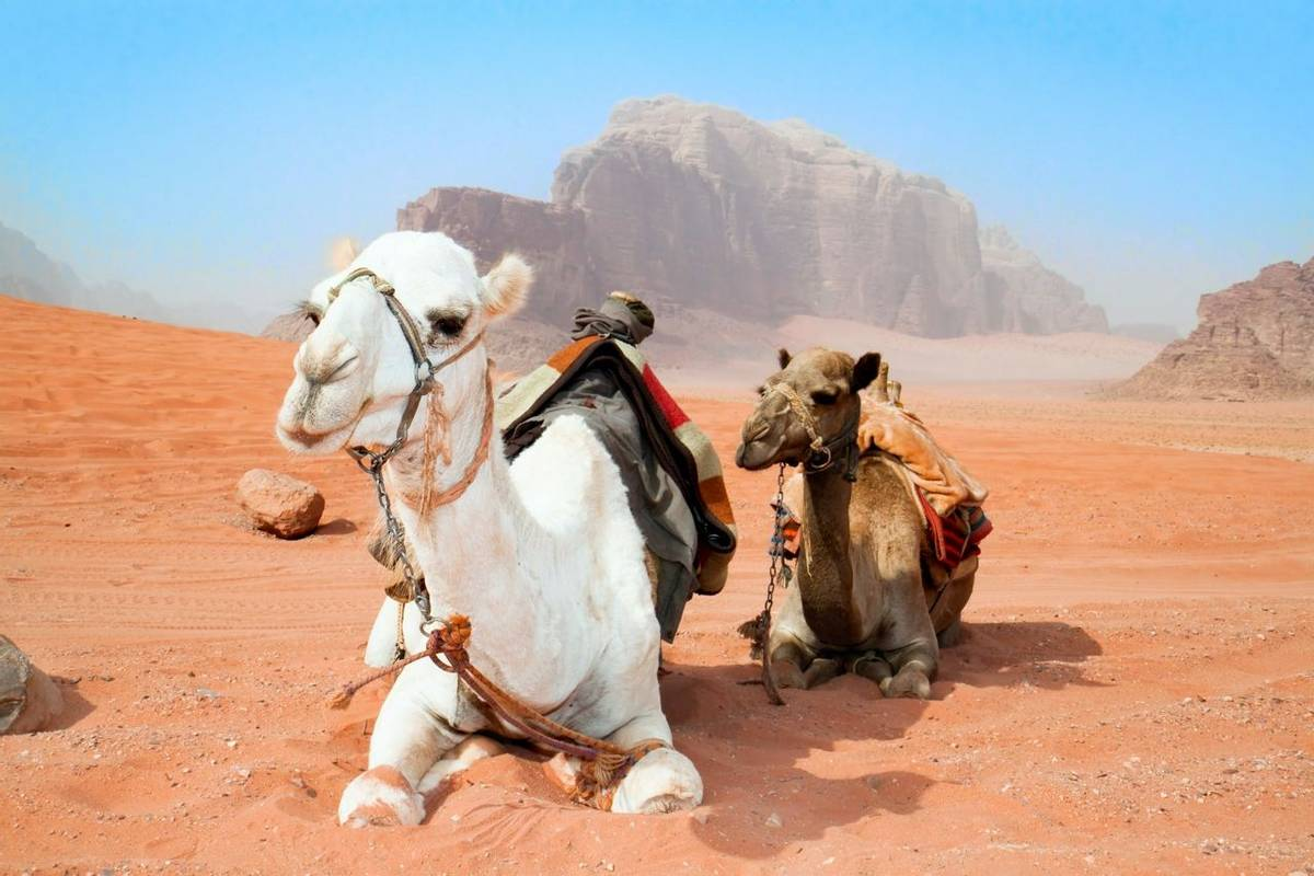 Camels take a rest in Wadi Rum red desert