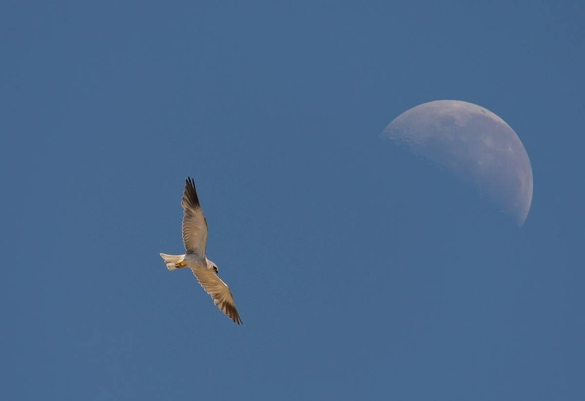 black winged kite (Simon Shore)