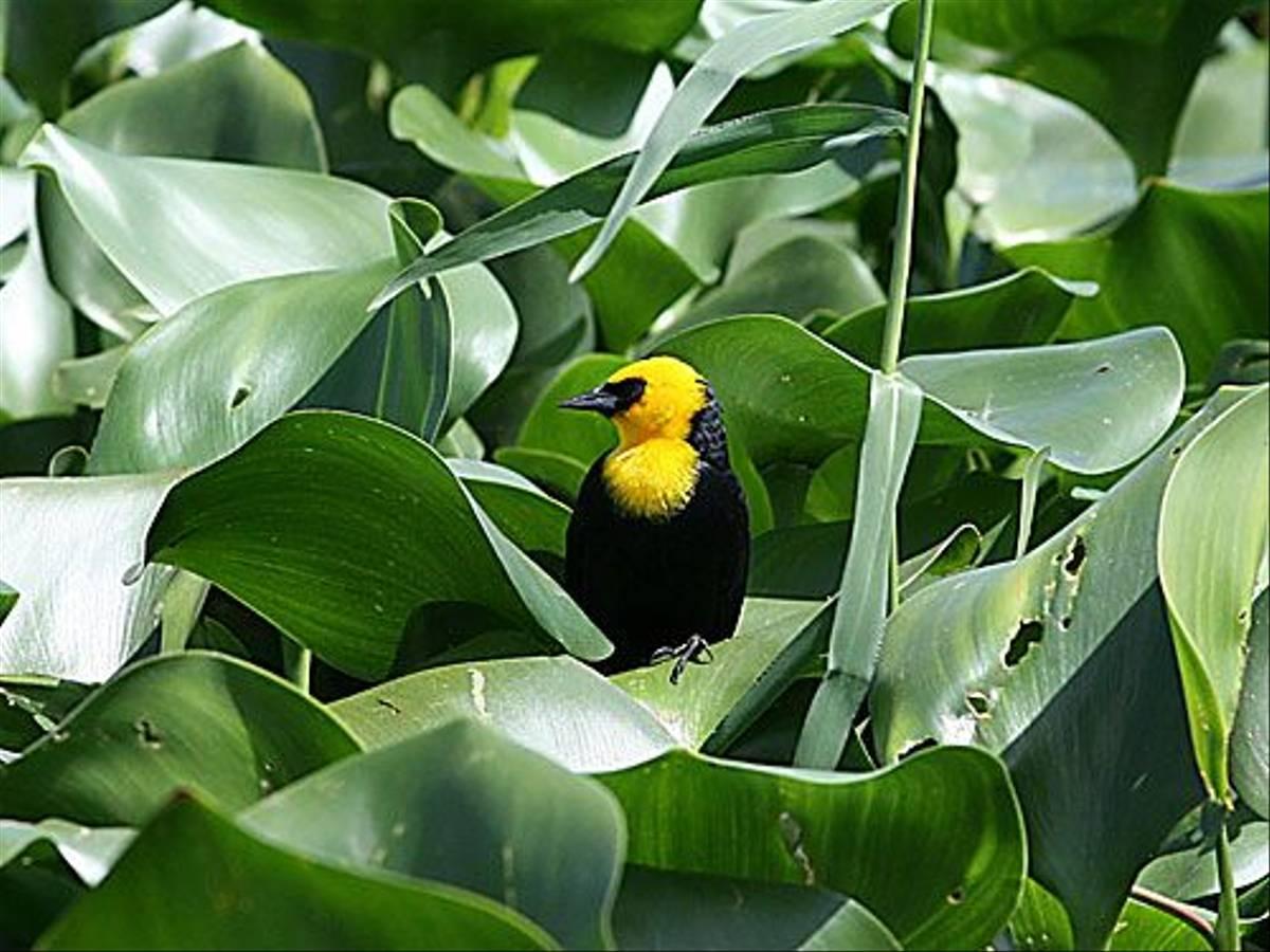 Yellow-hooded Blackbird (Peter Dunn)