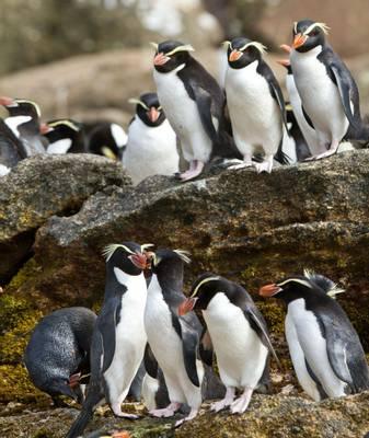 Snares Penguin Shutterstock 58534861