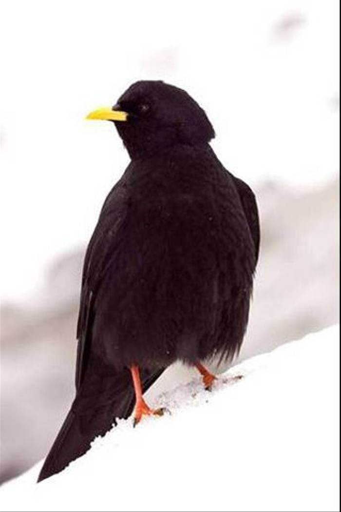 Alpine Chough (Andrew Cleave)