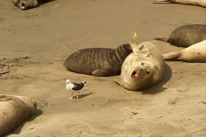 Southern Elephant Seal (David Allen)