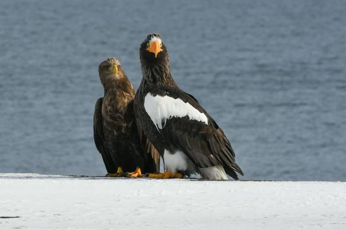 White-tailed Eagle & Steller's Sea Eagle