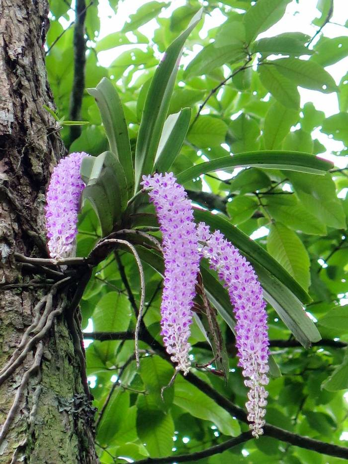 Aerides multiflora (Common Foxtail Orchid).jpg