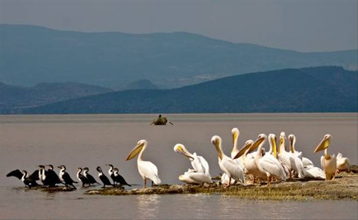 Great White Pelicans at Lake Langarno (Dani Free)