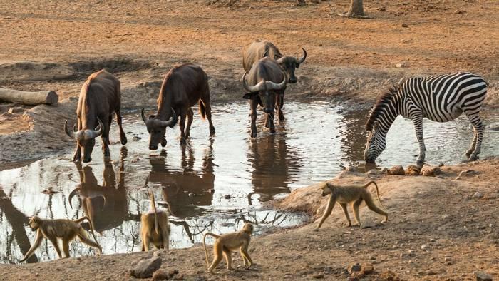 Water Buffalo, Yellow Baboon and Zebra, Majete Wildlife Reserve, Malawi  shutterstock_1212675541.jpg