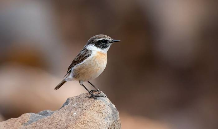 Canary Islands Stonechat (Brian Small).jpg