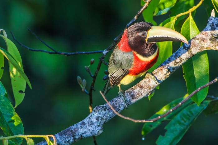 Red-necked Aracari (Marcos Amend)