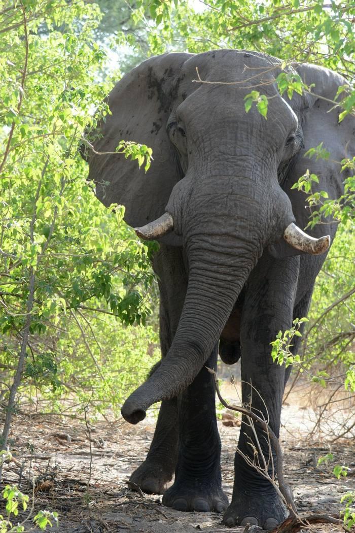 Elephant (Rob Thatcher)
