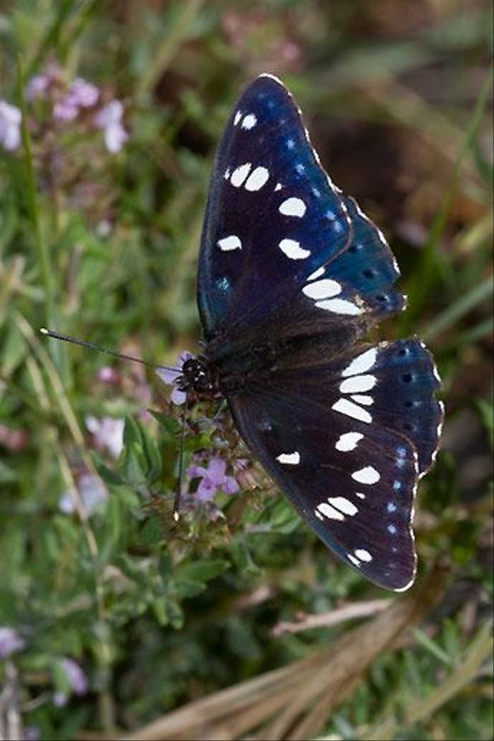 Southern White Admiral (Ian Small)