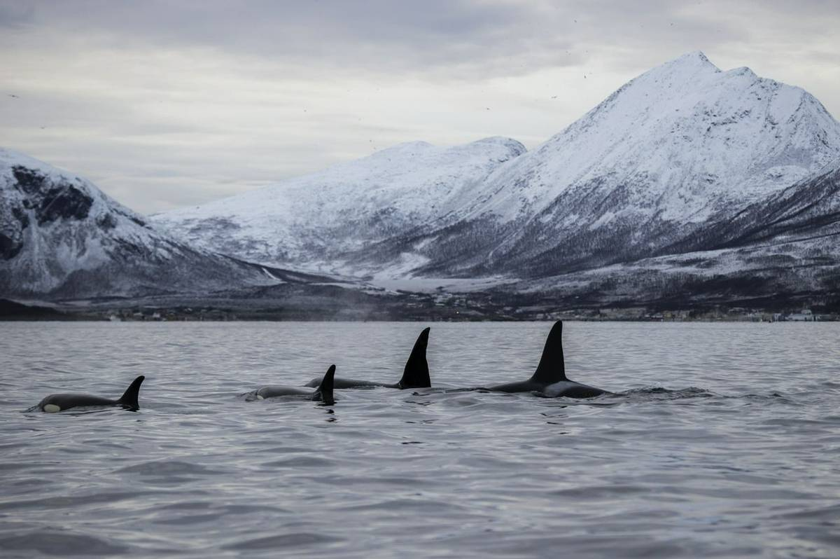 Orca, Northern Norway Fjords