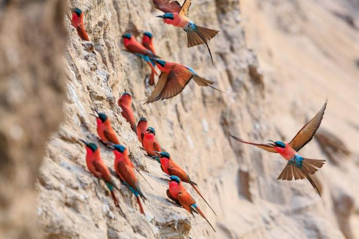 Northern Carmine Bee Eater Shutterstock 625696874