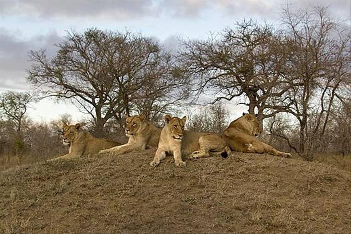 Lion pride (Leon Marais)