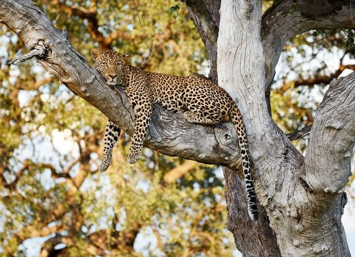 Leopard, South Luangwa, Zambia shutterstock_724954630.jpg