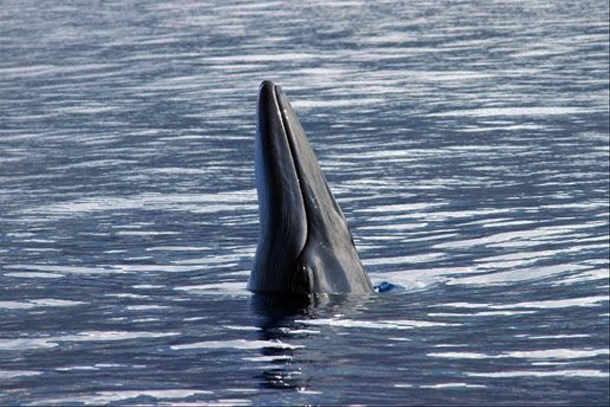 Bryde's Whale (Luis Diaz)