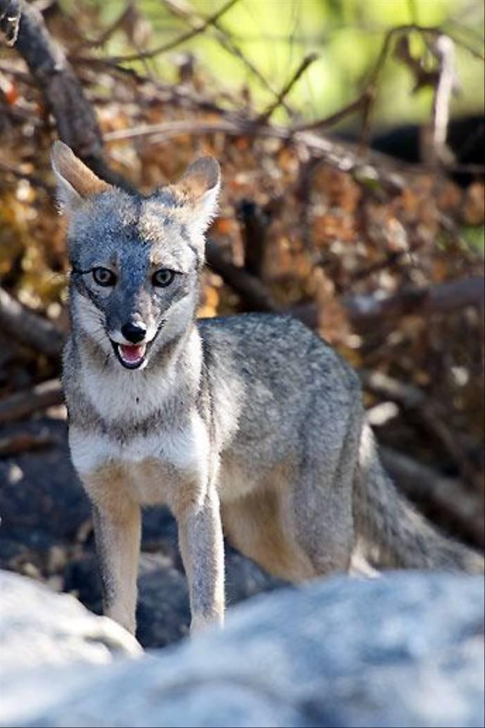 Saechuran fox(David Allison)