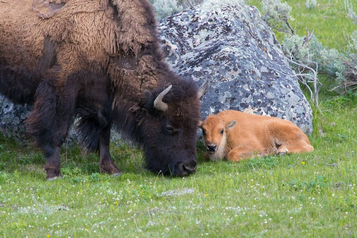 American Rockies - Wildlife - Byson Family in Yellowstone National Park - AdobeStock_155556463.jpeg