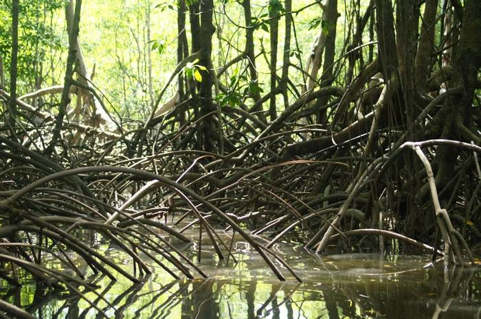 In the mangrove forest (Brian West)