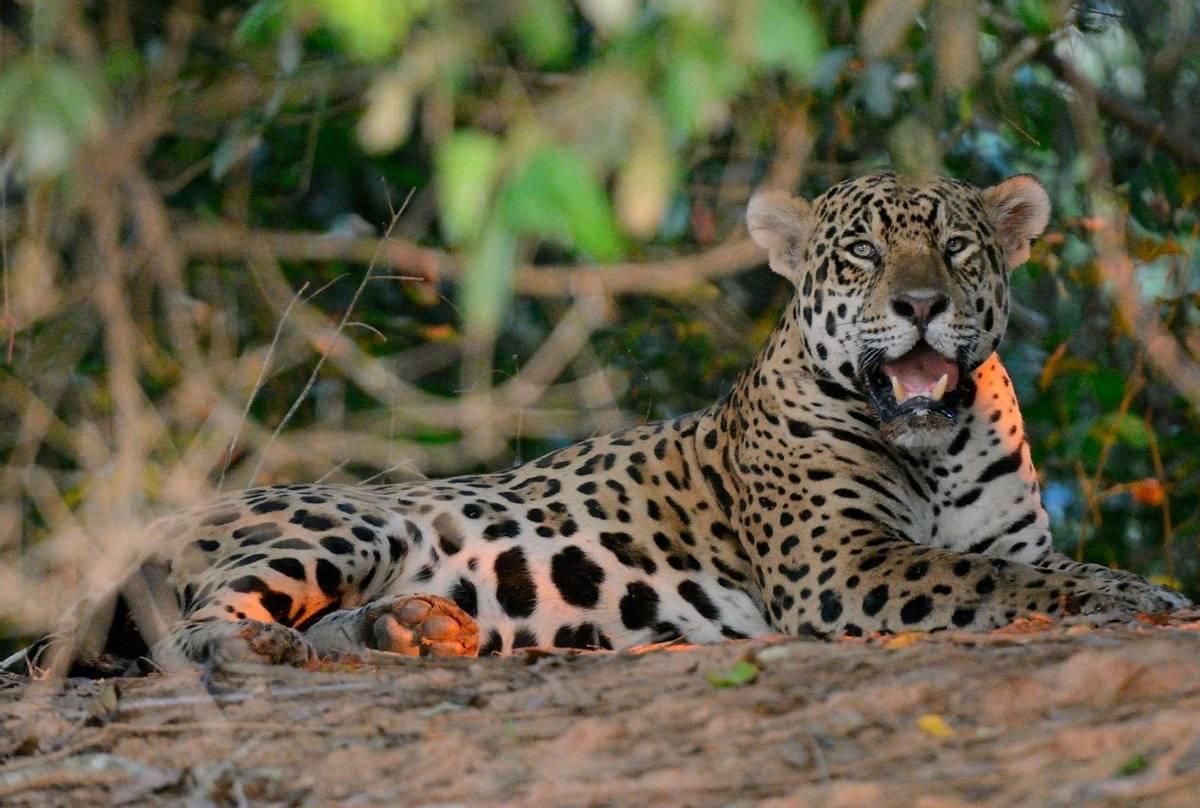 Jaguar (Helen Pinchin)