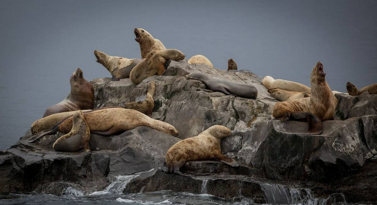 Steller Sea Lions (Peter Stott)
