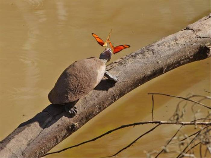 Yellow-spotted Side-necked Turtle (Ian Williamson)