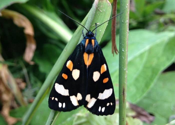 Scarlet Tiger Moth (Ed Drewitt)