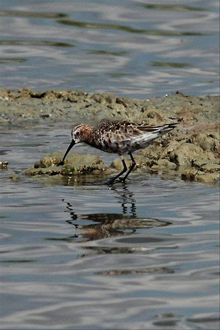 Curlew Sandpiper (Peter Dunn)