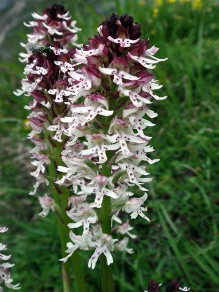 Burnt-tip Orchids (John Willsher)