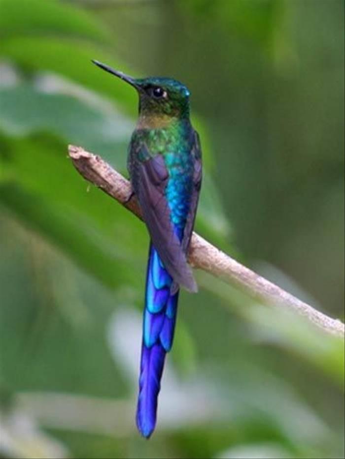 Violet-tailed Sylph (Byron Palacios)