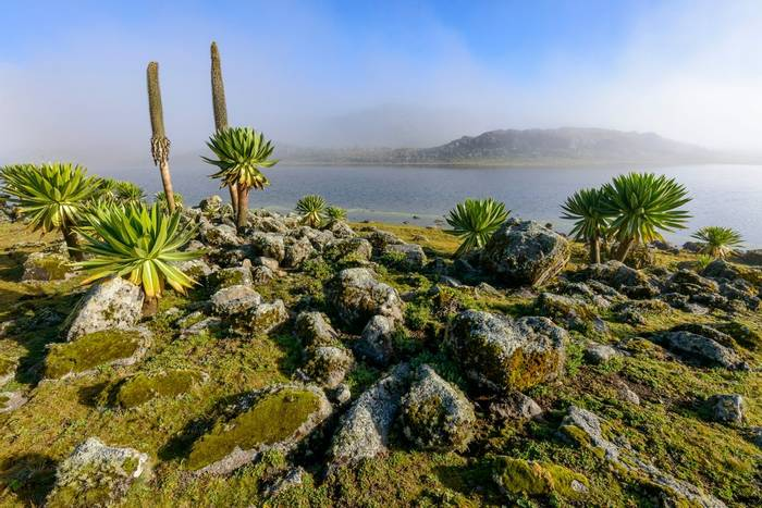 Giant Lobelia, Bale Mountains, Ethiopia Shutterstock 1169999635
