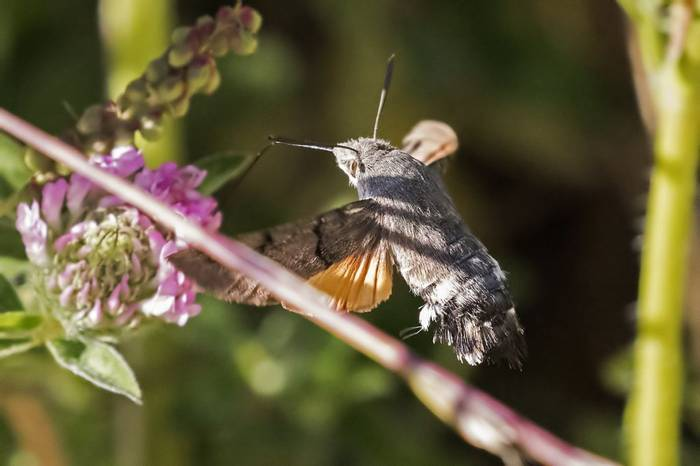 Hummingbird Hawkmoth, Colin Brown