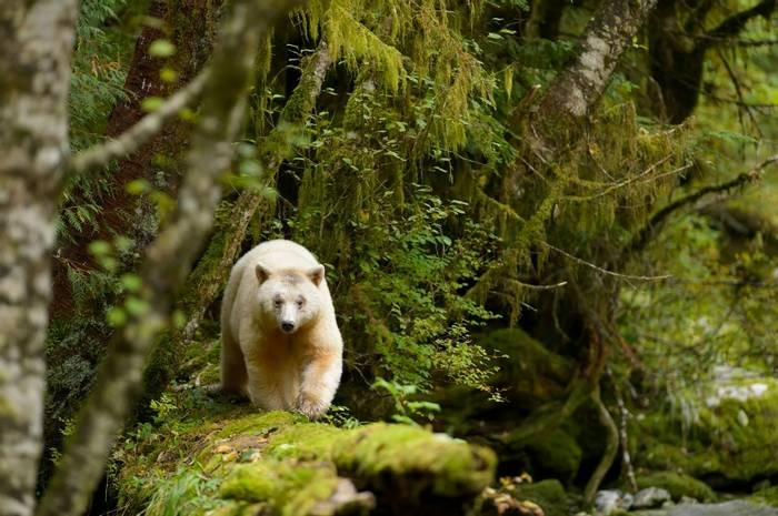 Spirit Bear Shutterstock 404480242