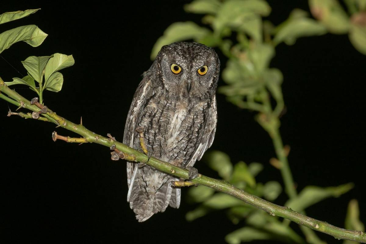 Cyprus Scops Owl shutterstock_1438690031.jpg