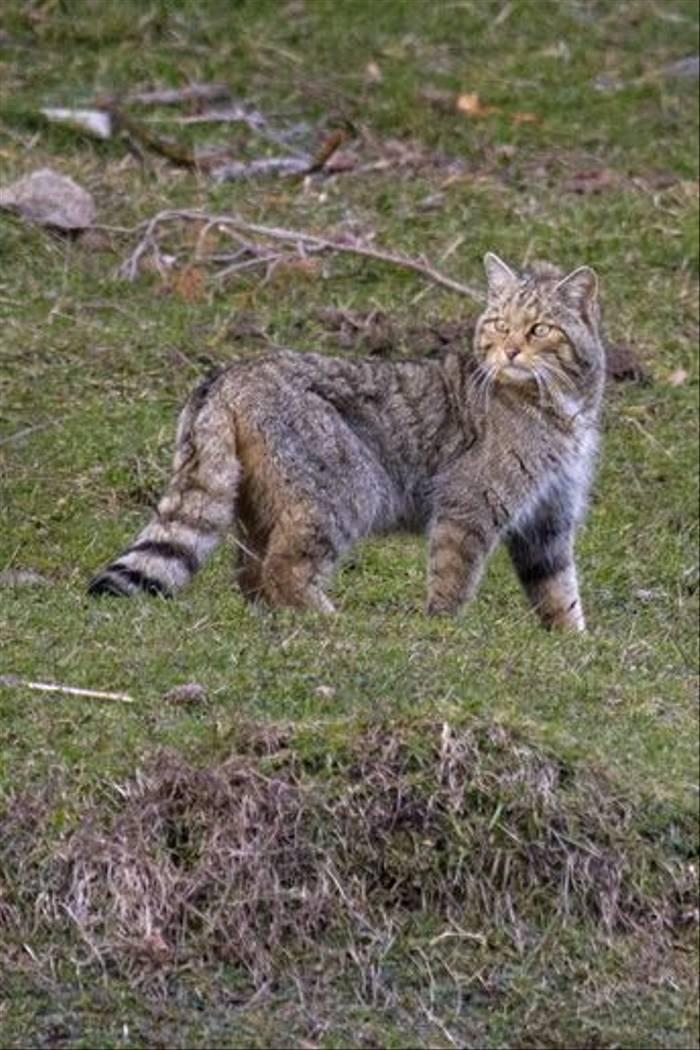 Male Wildcat, Navarra (Amy Horn-Norris)