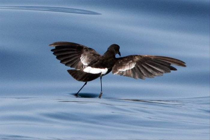 Wilson's Petrel (John Willsher)