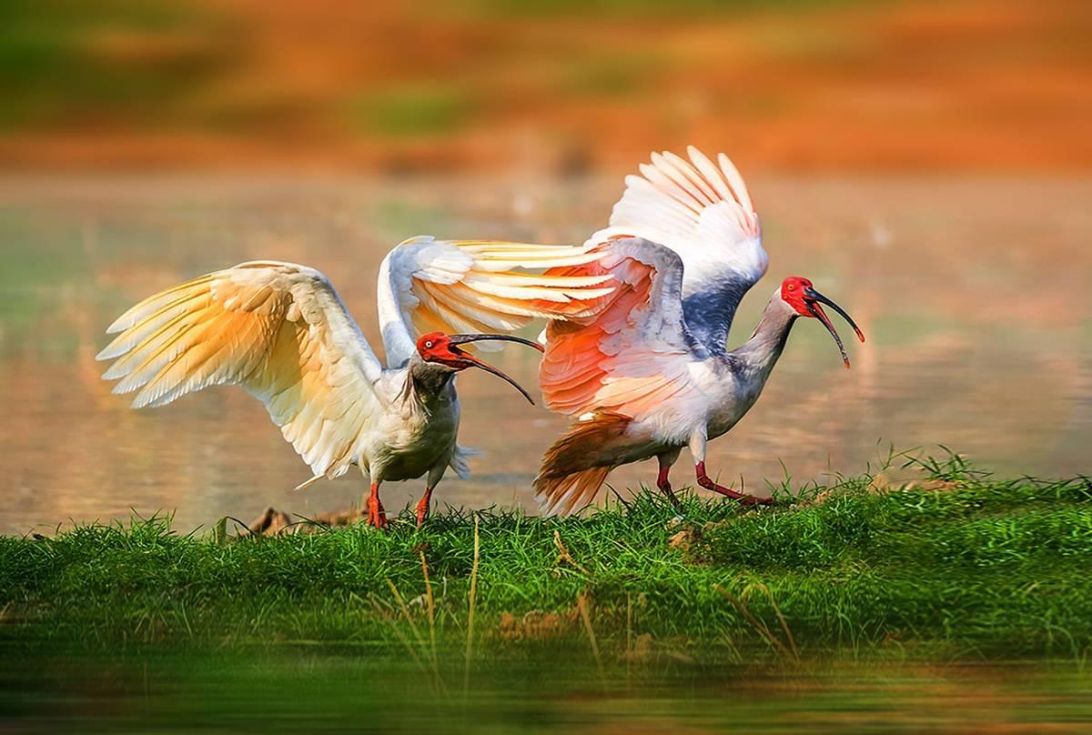 Crested Ibis shutterstock_560656954.jpg