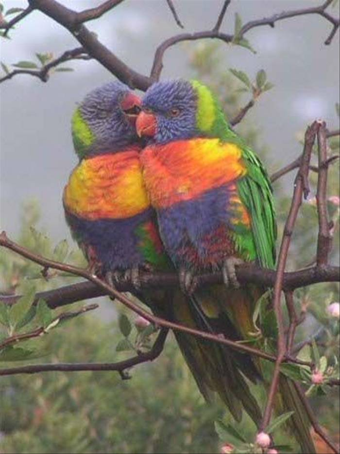 Rainbow Lorikeets (Janine Duffy)