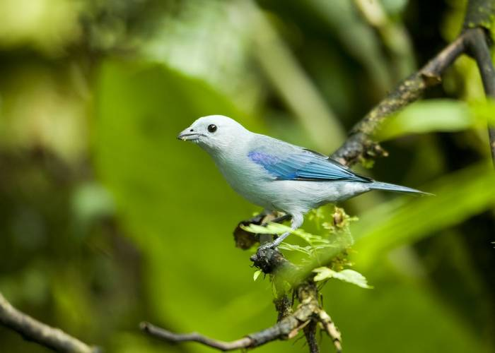 Blue-grey tanager, Costa Rica shutterstock_112129826.jpg