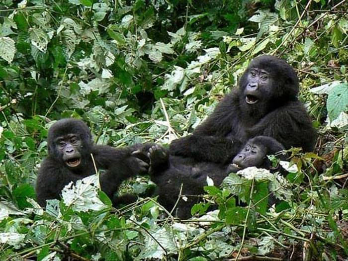 Three Mountain Gorillas (Tom McJannet)