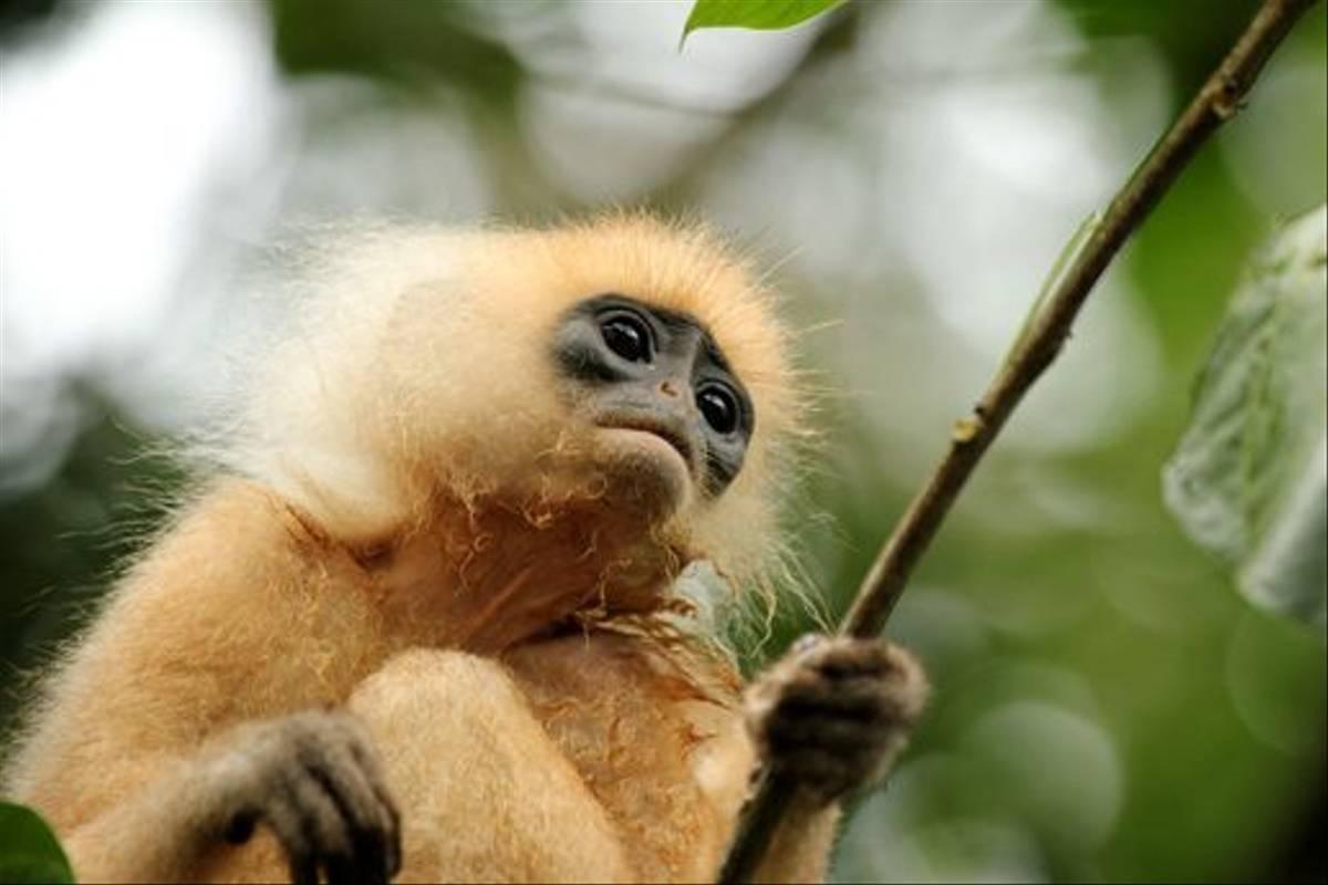 Red Leaf Monkey (Janice Fiske)